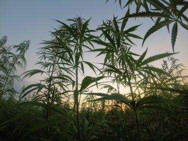 大麻の種類は大きく分けて4つ!それらを徹底解説!